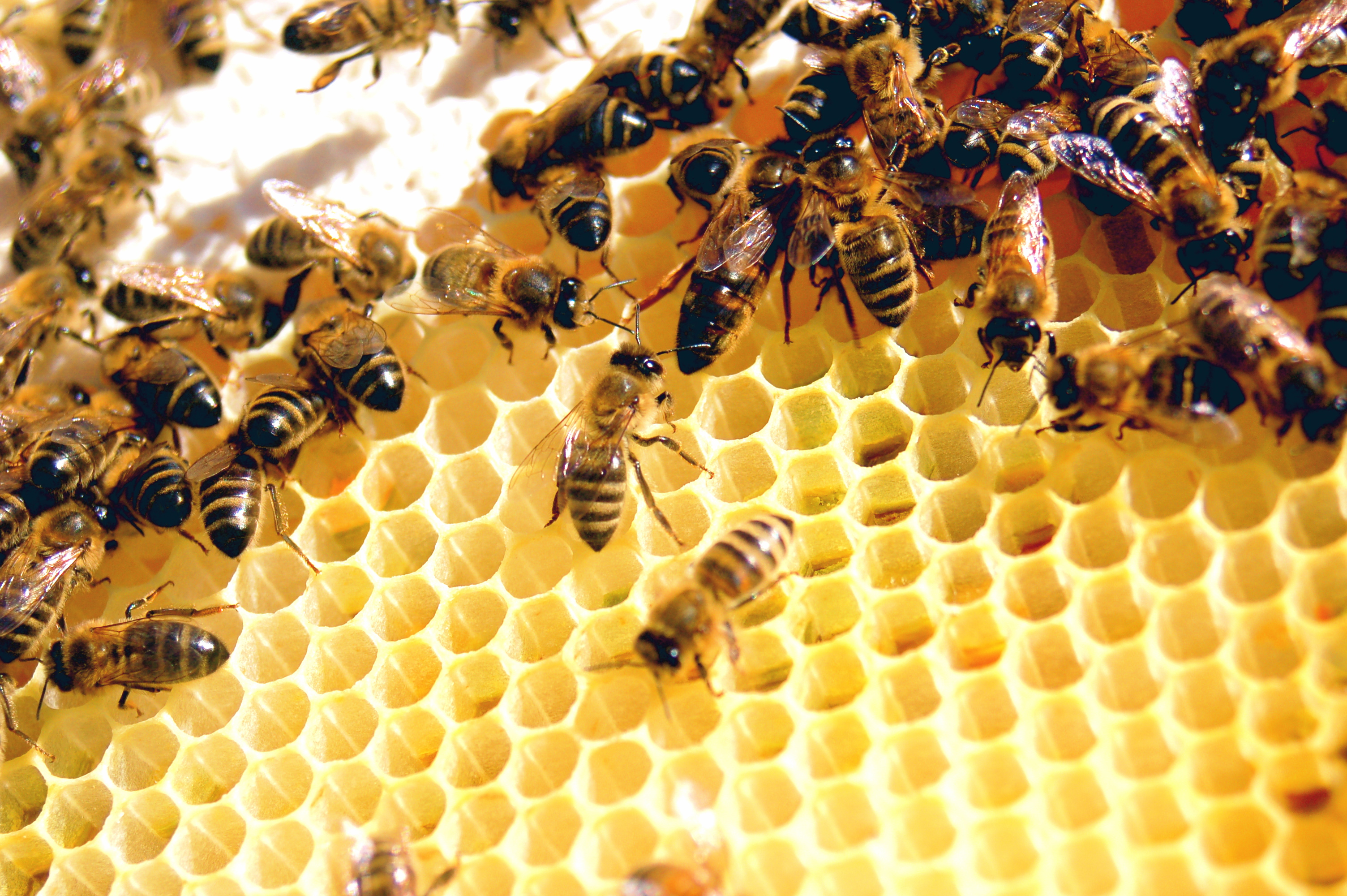 Como abejas a la miel