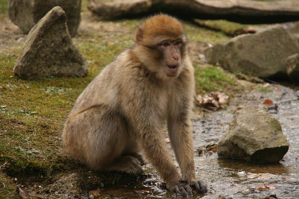 Contando las calorías. Los monos viven más tiempo
