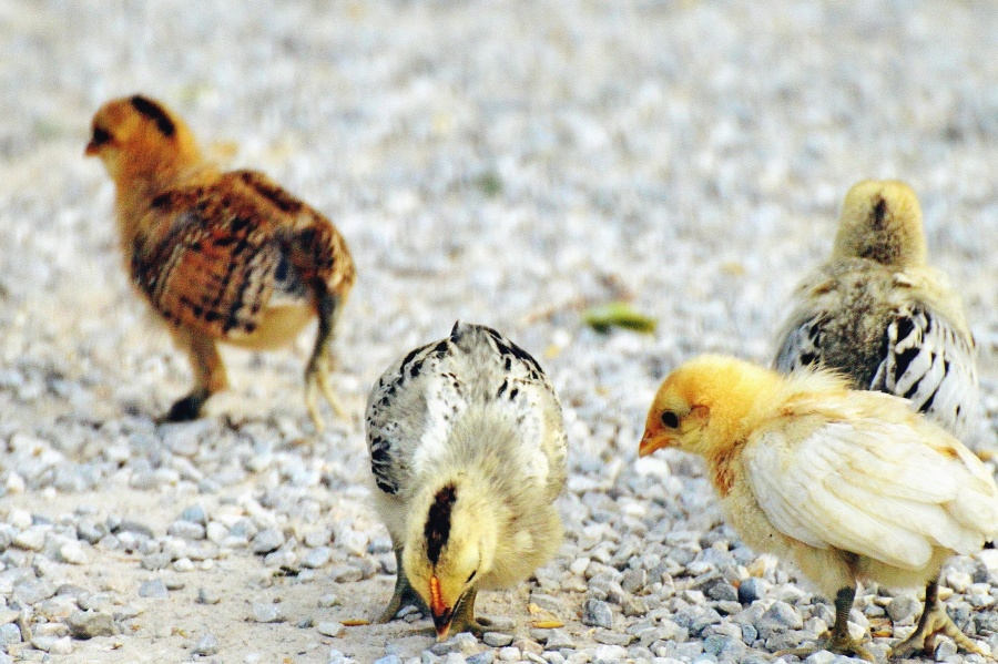 Antimicrobianos naturales aplicados a la carne de aves de corral
