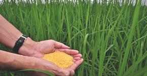 Los científicos condenan la destrucción de la prueba de campo del arroz dorado