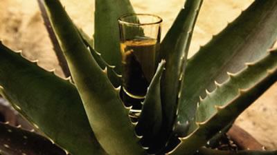 Bebida de agave con probióticos regula los niveles de azúcar en sangre
